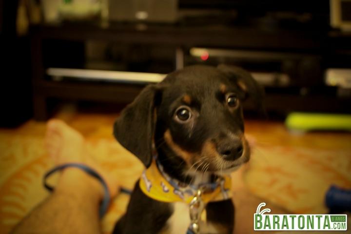 Cachorro adotado sem cordas vocais